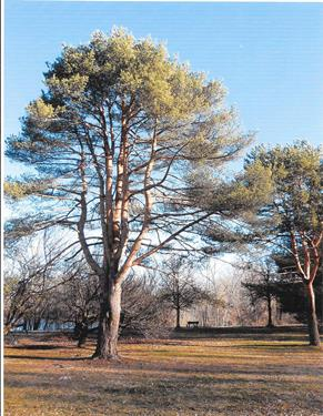 Medford Tree of the Week